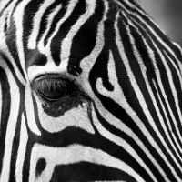 Ik ben dus toch een zebra