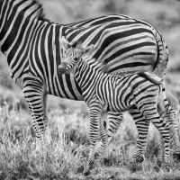 Annie M.G. Schmidt  en de slappe zebra(s)